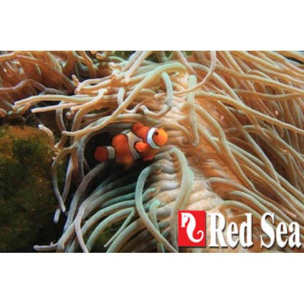 Red Sea Max S-Serie-10.jpg : -